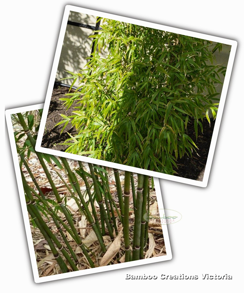 Khasia bamboo from bamboo creations victoria nursery