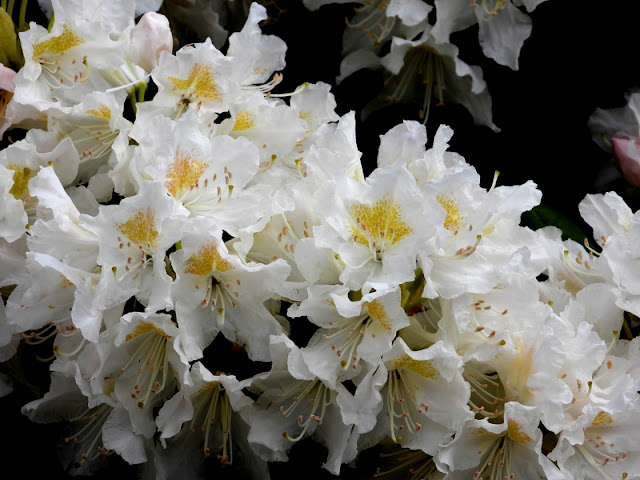 Fin  Rhododendron.
