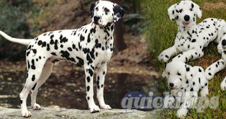Interesting facts about Dalmatian dogs