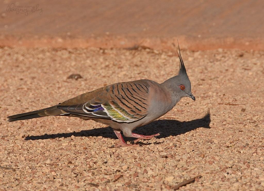 Ptaki Australii Zachodniej  - część 1.