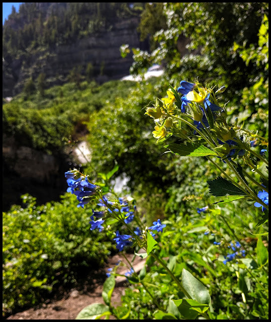 Bright Blue Flowers along the trail just past the Lower Timpanogas Falls