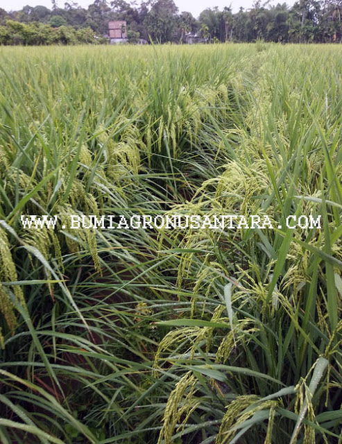 padi kalimasada, padi k5 persada, padi unggul nusantara, padi kualitas tinggi, bumi agro,