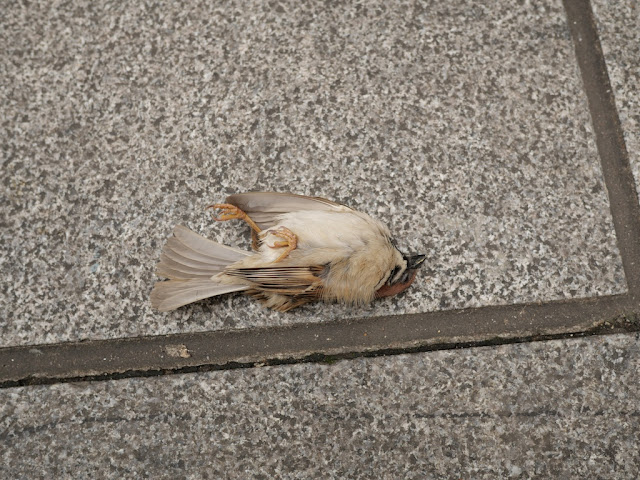 dead sparrow on the ground