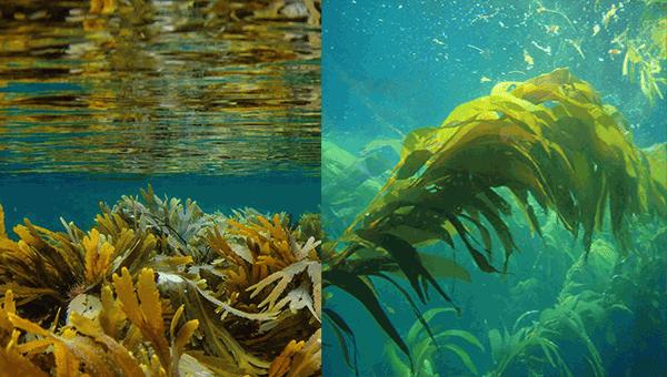 الأعشاب البحرية وفوائدها الصحية