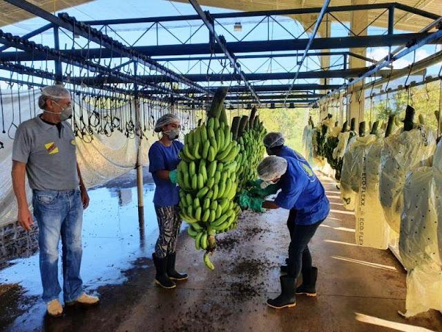 Banana volta a ser exportada em parceria entre Abavar e bananicultores do Vale do Ribeira