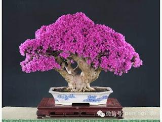inspirasi sketsa bonsai bugenvil