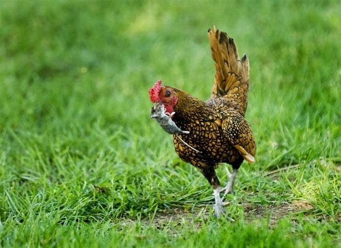 Fare tavuk yer mi ?