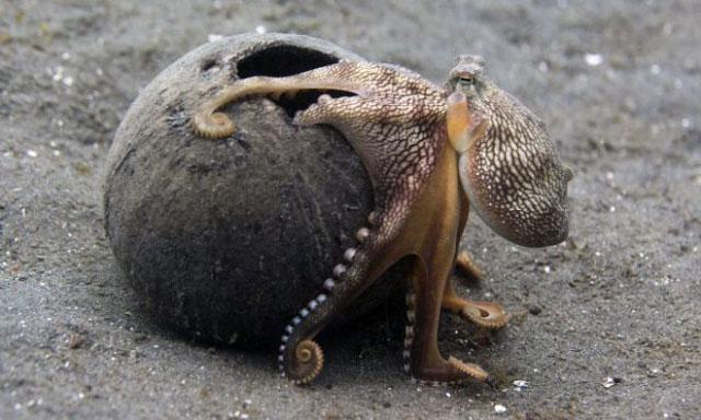 gurita berjalan di darat