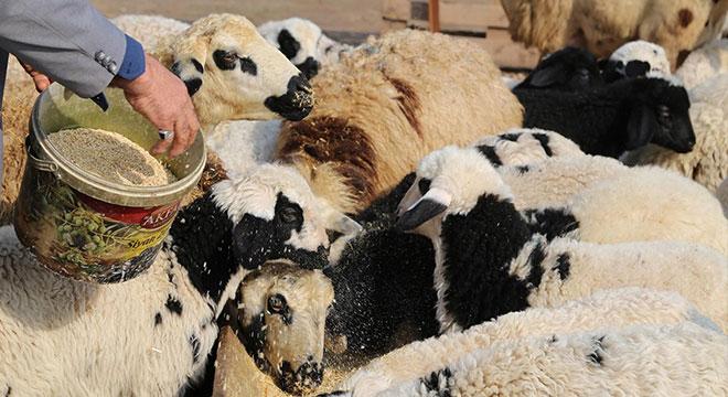 300 koyun projesinden kimler faydalanacak