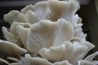 White oyster mushroom supplier