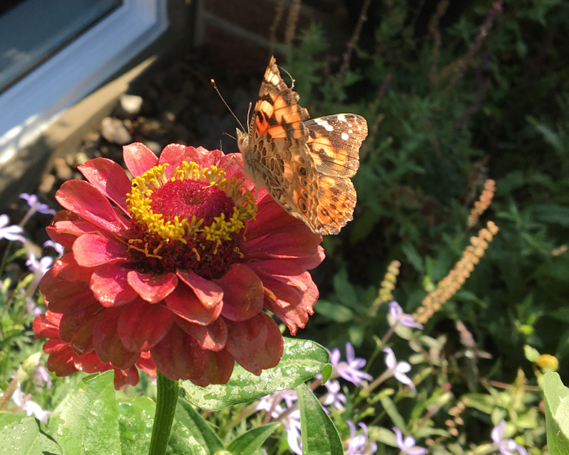 Photo of painted lady butterfly on zinnia by Kathleen Maunder