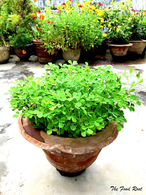 Mint is a perennial herb, it's very easy to grow and doesn't require much care and attention. I like to plant mint separately in pots as it's spread all over the place.