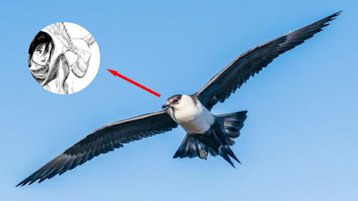 Mengenal Burung Parasitic Jeager, Burung Yang Ada di Ending Attack on Titan