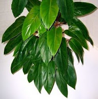 Air cleaner Red Emerald Philodendron, Philodendron erubescens