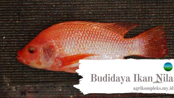 Cara Budidaya Ikan Nila Merah Untuk Para Pemula