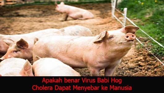 Apakah benar Virus Babi Hog Cholera Dapat Menyebar ke Manusia