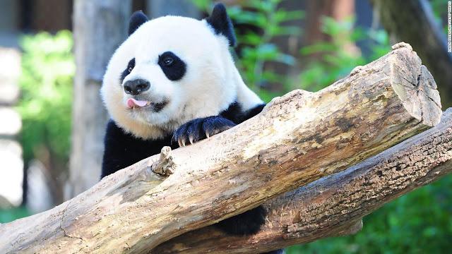 دب باندا يسافر من أمريكا إلى الصين على متن طائرة خاصة ومعه أطعمته وأغانيه الخاصة