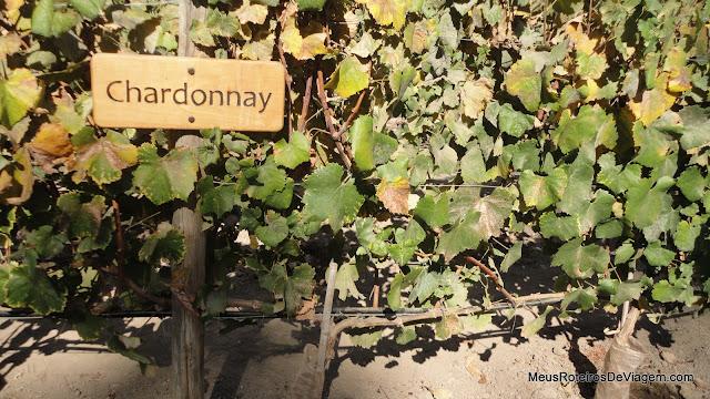 Plantação de uva Chardonnay