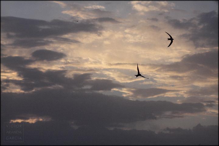 vencejos,aves,fauna,murcia,fotografia,animales,cielo,atardecer