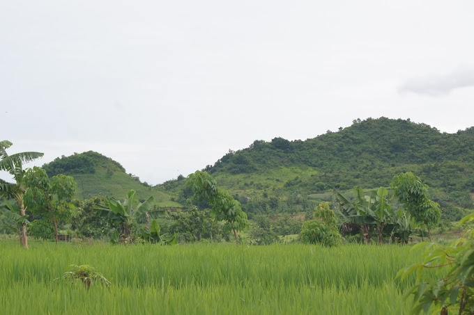 Hamparan Padi Hijau Songgom, Brebes
