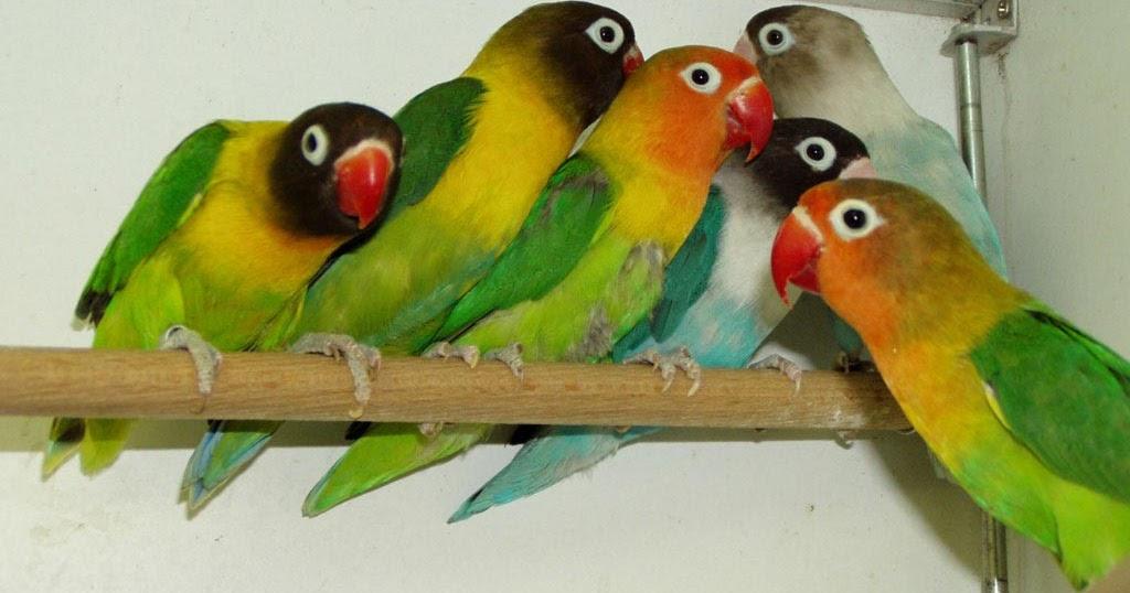 ternak burung unggas hewan ternak dan ikan Cara Budidaya Ternak Burung Love Bird Yang Baik dan ...