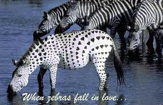 dragoste pe zebra