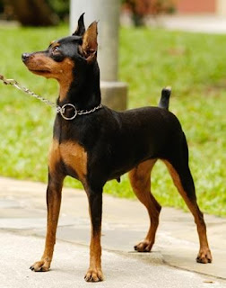 Everything about your Miniature Pinscher