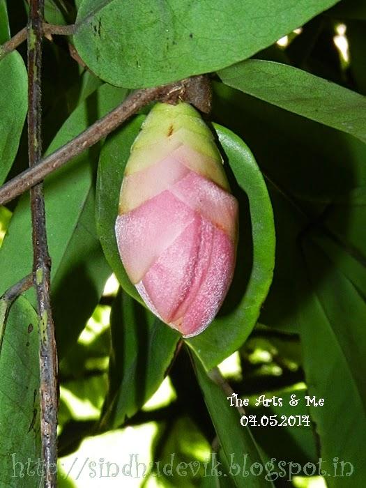 Lal Zumbar or Brownea Coccinea Flower Bud