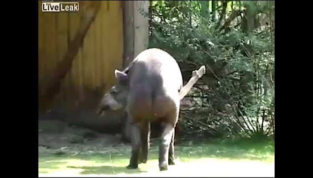 A Tapir scratches his back using his long member