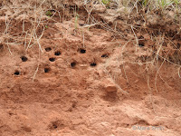 Bank swallow nests – Red Point Provincial Park, PEI – © Marie Smith – June 29, 2017
