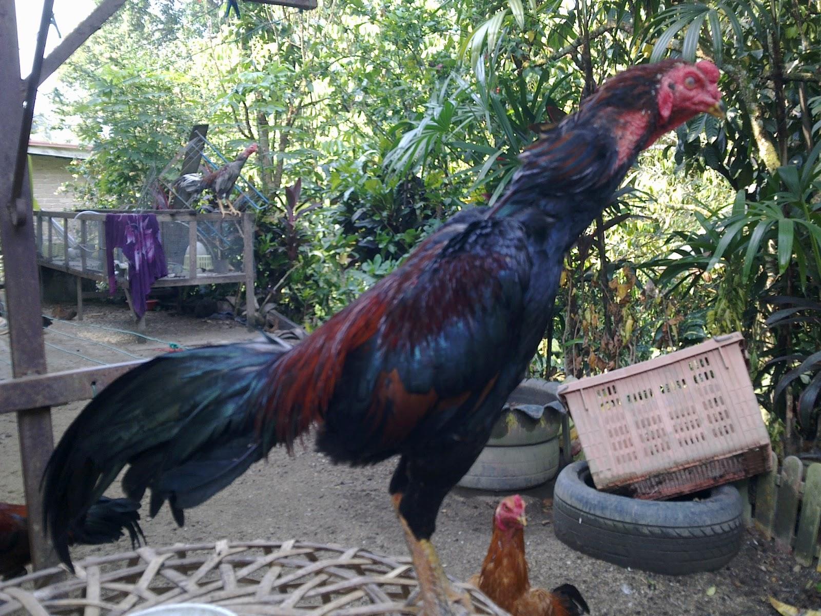 Ayam Sabung Batang Kaki