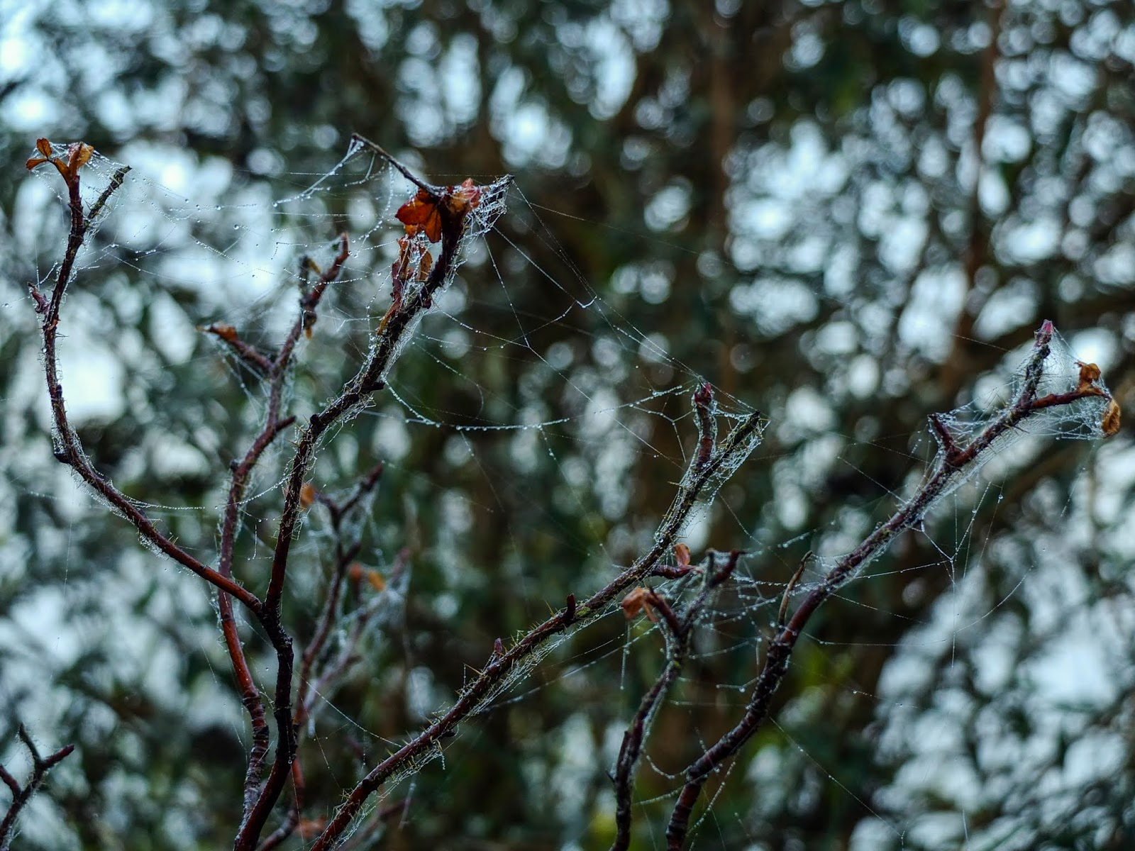 Rose branches covered in spider web with a bokeh background.