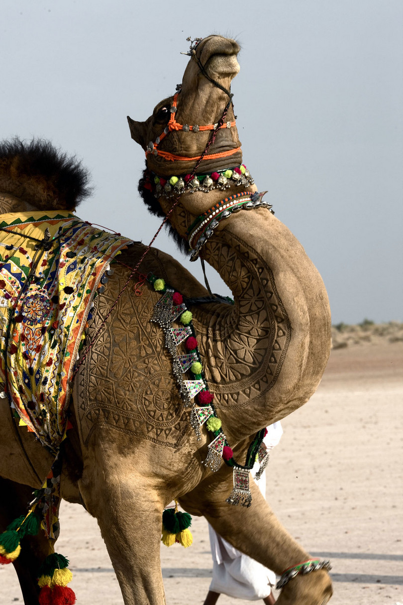 bikaner camel festival, camel festival bikaner, camel festival, camel festival india, camel body art, camel decoration art camel hair art, art on camel body