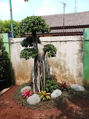 jual pohon bonsai beringin korea di bsd - SuryaTaman