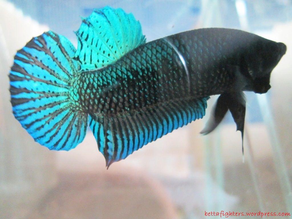 Gambar, Foto Cupang Jenis Ikan Hias Tawar Yang Berwarna Hijau