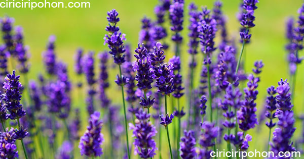 ciri ciri pohon Bunga Lavender