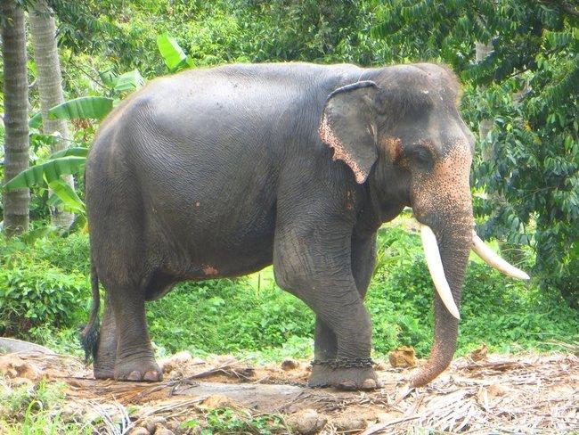 большой и старый слон на цепи