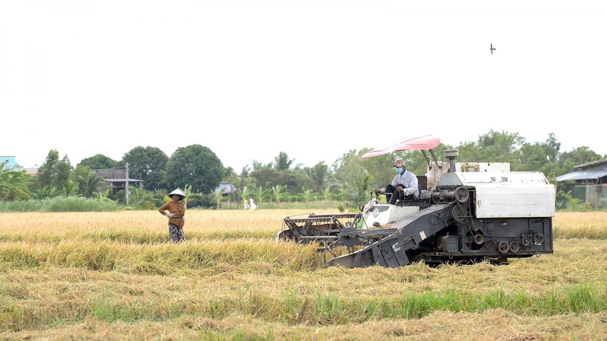 Nông dân huyện Gò Công Đông, tỉnh Tiền Giang khẩn trương thu hoạch lúa.