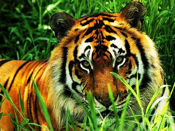 royal bengal tiger ka photo download