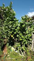 Crown flower, a milkweed attracting Monarch butterflies - Waikiki, HI