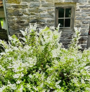 Green bush with small white flowers with a stone building behind it
