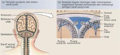 Sistem saraf pusat (SSP) terdiri dari otak dan sumsum tulang belakang, yang terletak di rongga tubuh dorsal. Ini adalah sangat penting untuk kesejahteraan kita dan tertutup dalam tulang untuk perlindungan