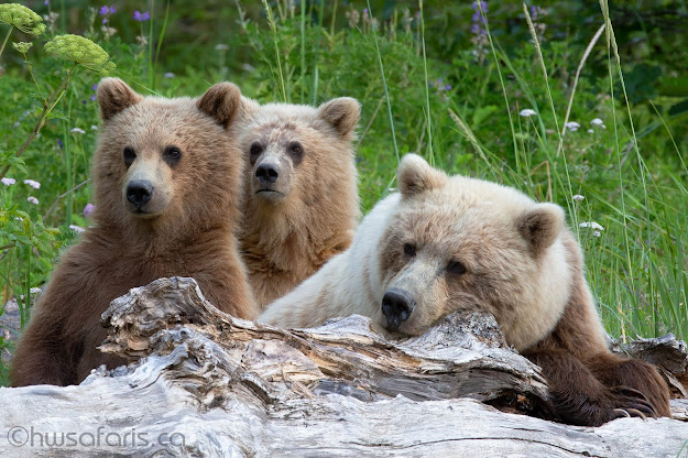Brown Bear Mom and Second Year Cubs