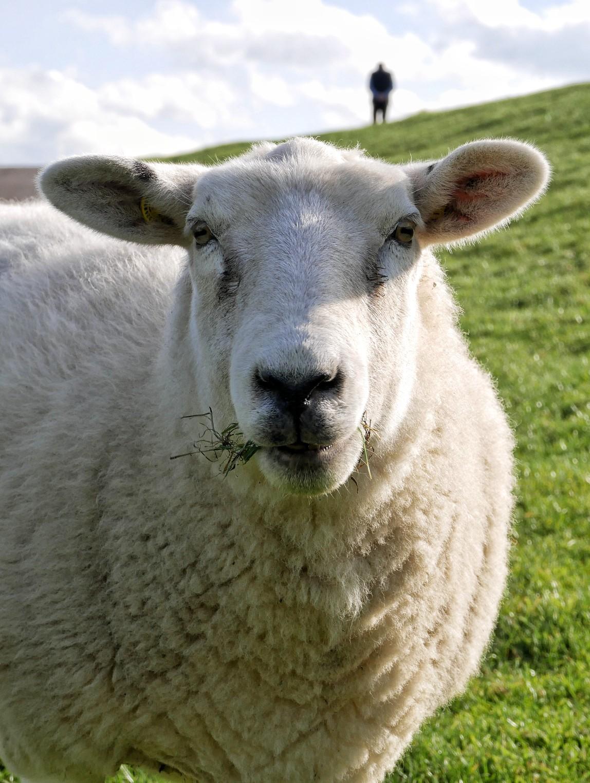 Schaf am Deich