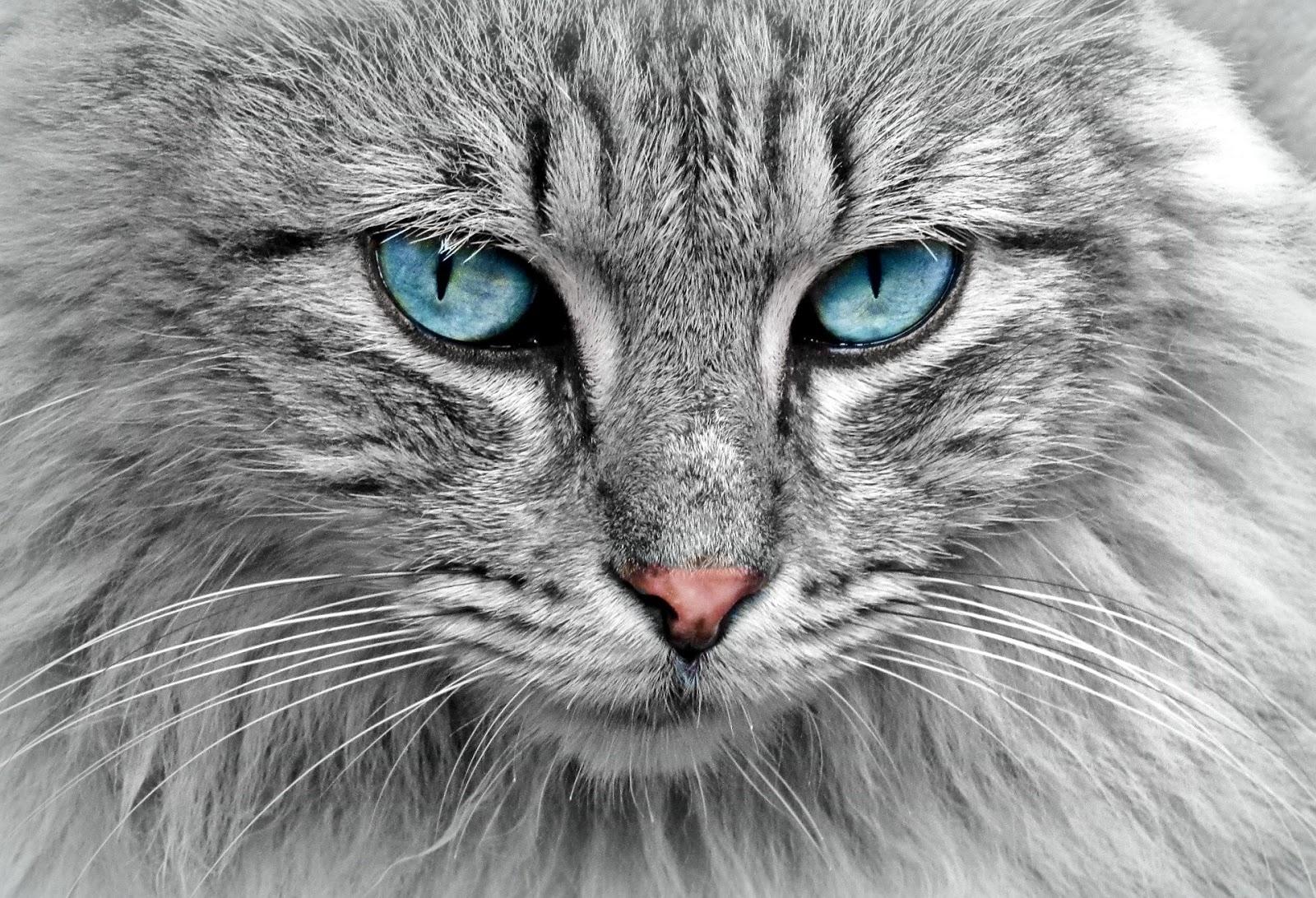 ماهي اغلي انواع القطط