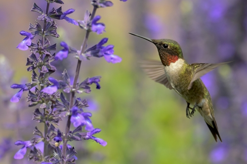 Are there studies on how red dyes affect hummingbirds?
