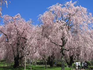 盛岡・米内浄水場の枝垂れ桜