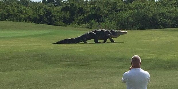 Jurassic Park: Dinosaur-like alligator become a tourist attraction at a Florida golf course