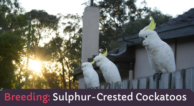 how to breed Sulphur-Crested-Cockatoos