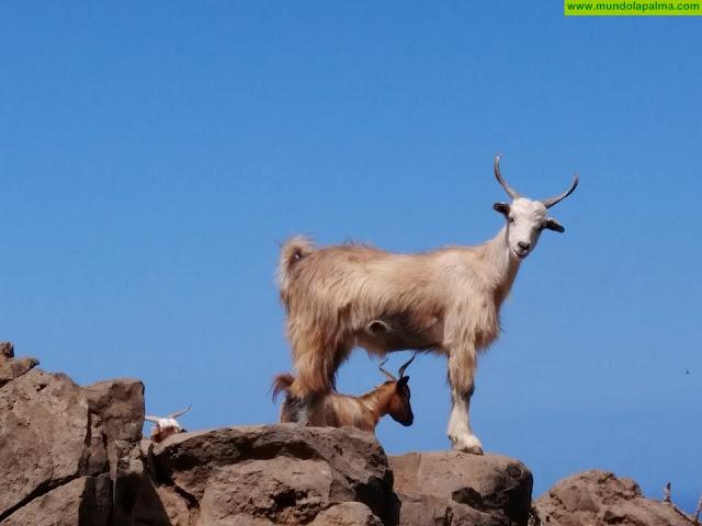 El Ayuntamiento de Tijarafe busca conocer la opinión de los ganaderos caprinos sobre el sector en el municipio